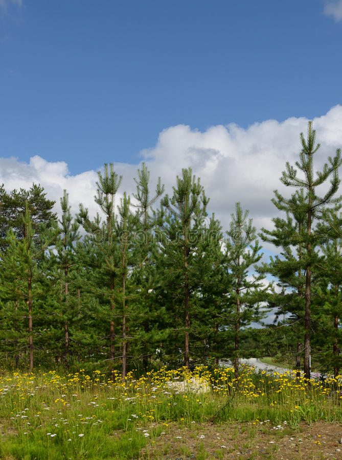 Landschap met jonge pijnbomen royalty-vrije stock foto