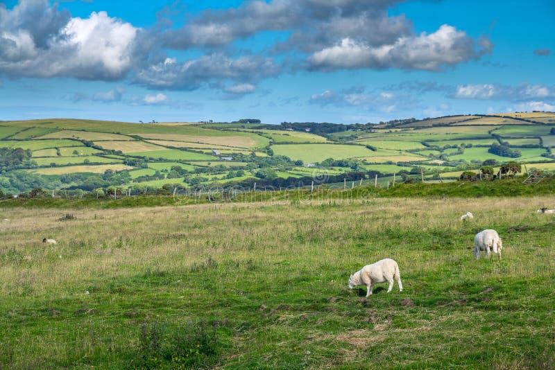 Landschap met schapen die in de weiden van de noordelijke kust van Devonshire weiden stock foto's