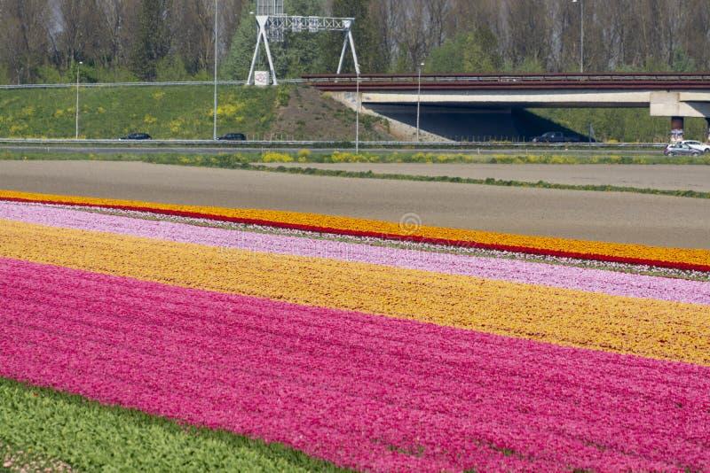 Landschap met tot bloei komende tulpengebieden, molens en weg, Nederlandse levensstijl stock afbeelding