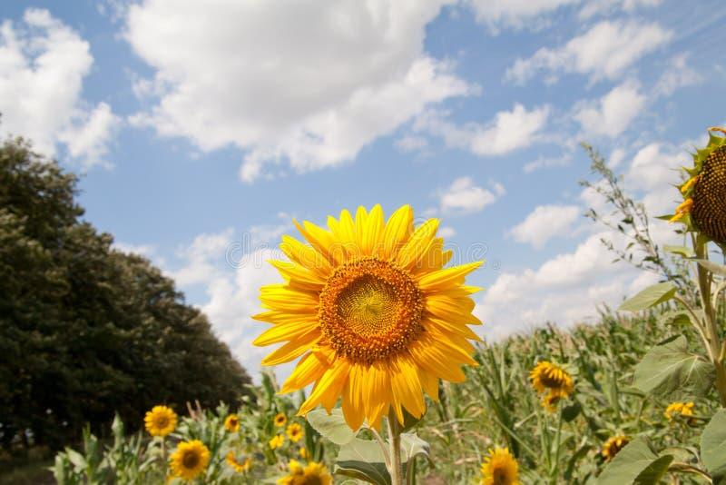 Landschap met zonnebloemgebied over bewolkte blauwe hemel royalty-vrije stock fotografie