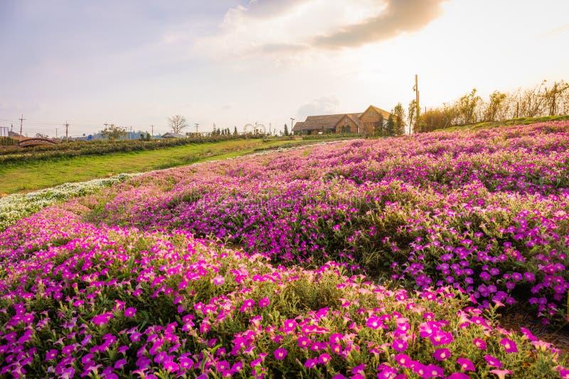 Landschap van bloeiend roze en wit bloemgebied met mooi huis op berg onder de rode kleuren van de de zomerzonsondergang royalty-vrije stock foto