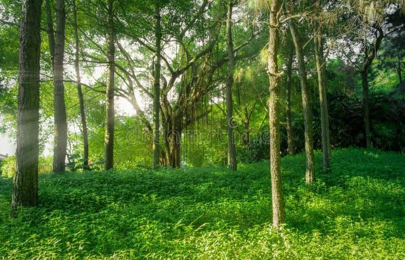 Landschap van bos met mist en zonnestralen op aardachtergrond royalty-vrije stock afbeeldingen