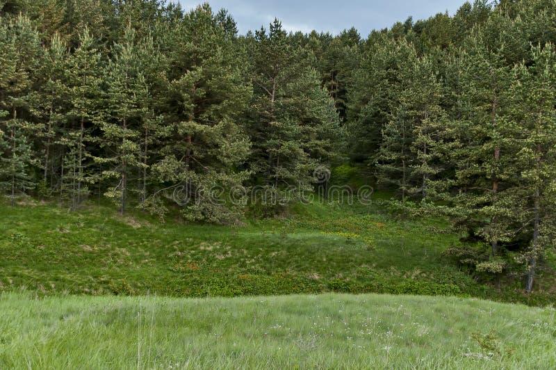 Landschap van de vroege zomeraard met groene open plek, geurige bloesem wildflower en bos, Plana-berg stock fotografie