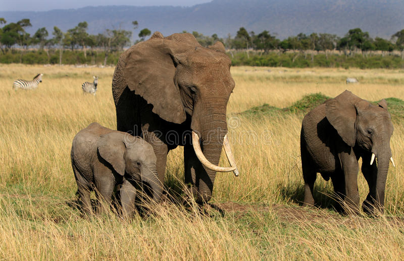 Landschap van drie olifanten op de mara vlaktes stock afbeelding