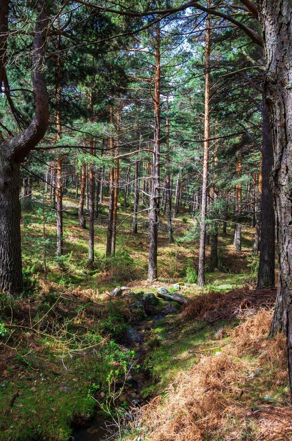 Landschap van een pijnboombos met een kleine rivier overgang royalty-vrije stock afbeelding