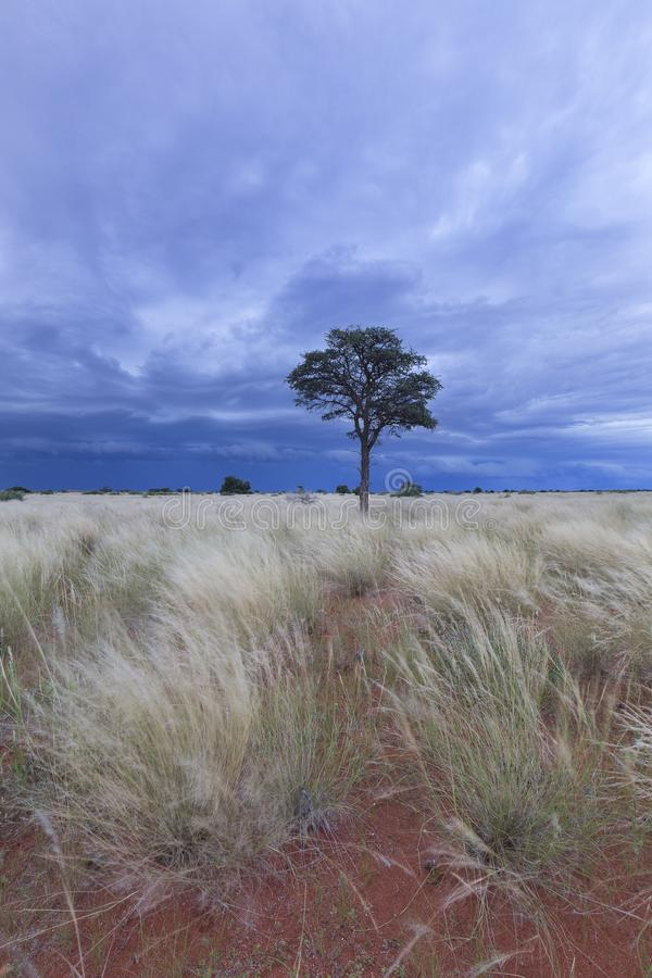 Landschap van een Quiver Boom met blauwe hemel en dunne wolken in droog royalty-vrije stock afbeeldingen
