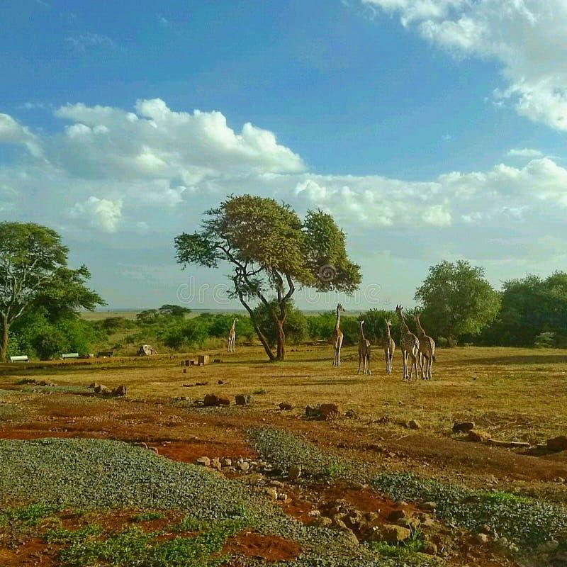 Landschap van Giraffen in de wildernis royalty-vrije stock afbeeldingen