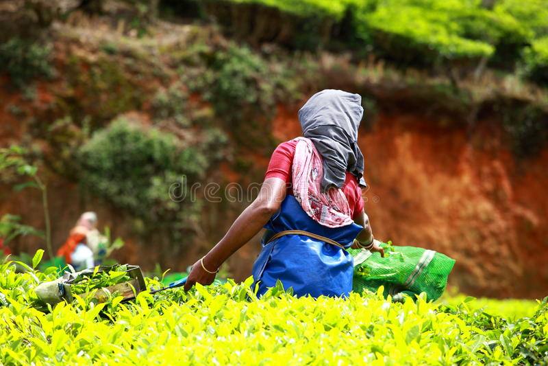 Landschap van groene theeaanplantingen. Munnar, Kerala, India stock foto