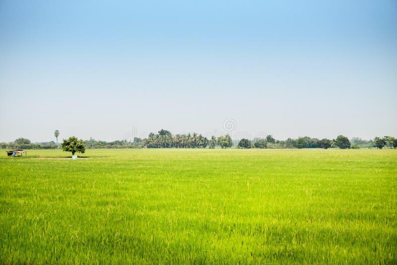 Landschap van het kweken van groen padieveld op breed gebied met zonlicht royalty-vrije stock foto's