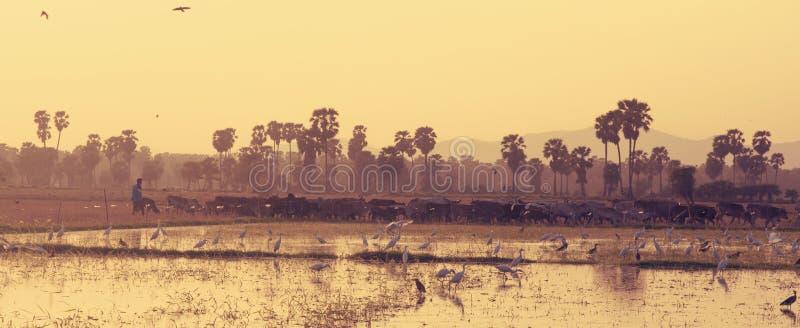 Landschap van landelijke scène wordt geschoten die Cowherd die langs padiegebied lopen stock fotografie