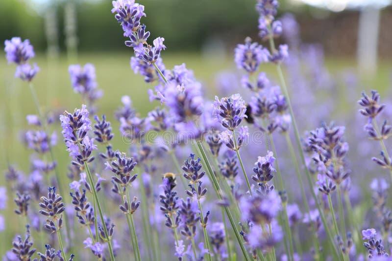 Landschap van lavendelgebieden in de Franse Provence in Sault royalty-vrije stock fotografie