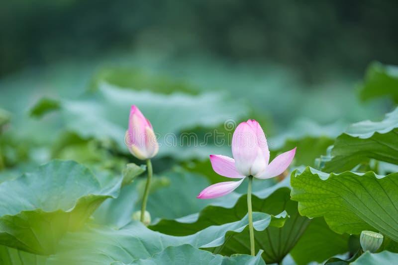 Landschap van lotusbloemvijver na regen royalty-vrije stock afbeeldingen