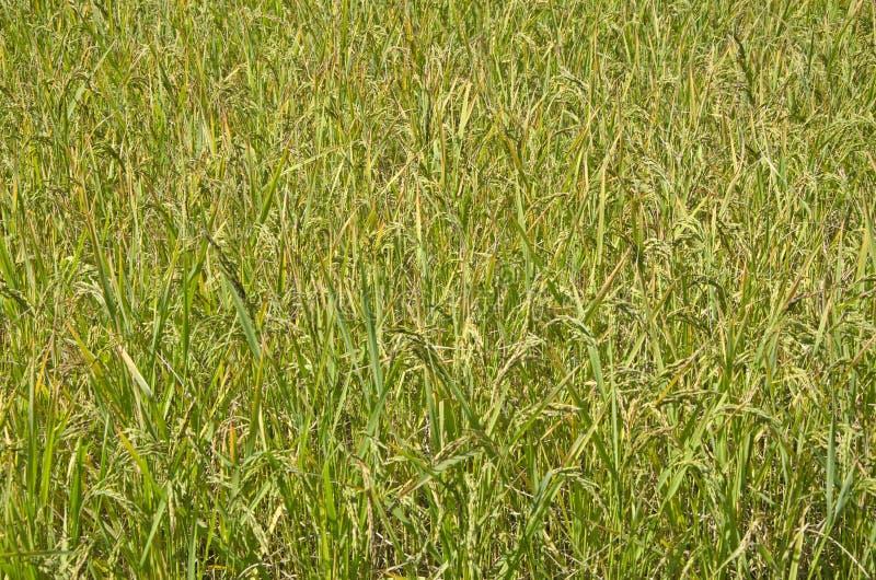 Landschap van padievelden stock afbeeldingen