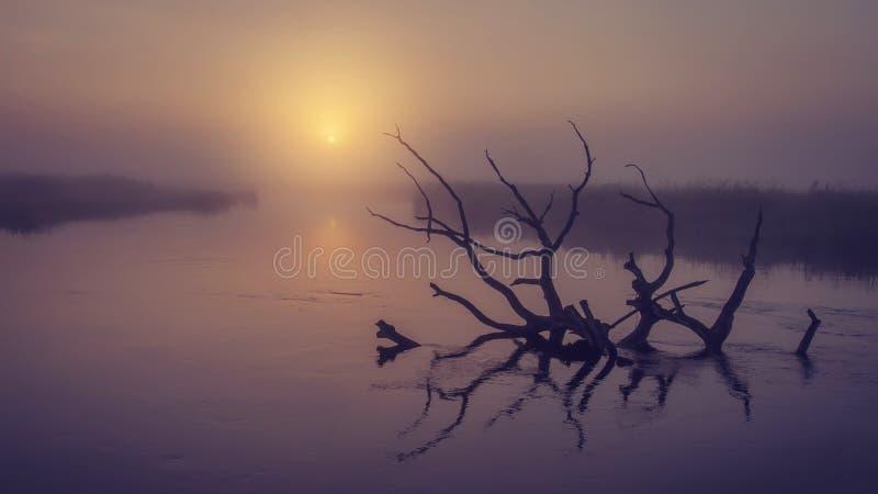 Landschap van rivier op ochtend nevelige zonsopgang Oude droge boom in water in vroege mistige dageraad Toneel rivier stock foto's