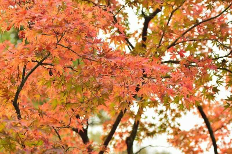 Landschap van trillende gekleurde Japanse Esdoornbladeren met vage achtergrond stock foto