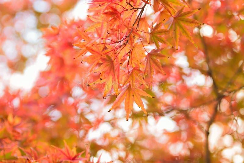 Landschap van trillende gekleurde Japanse Esdoornbladeren met vage achtergrond stock fotografie