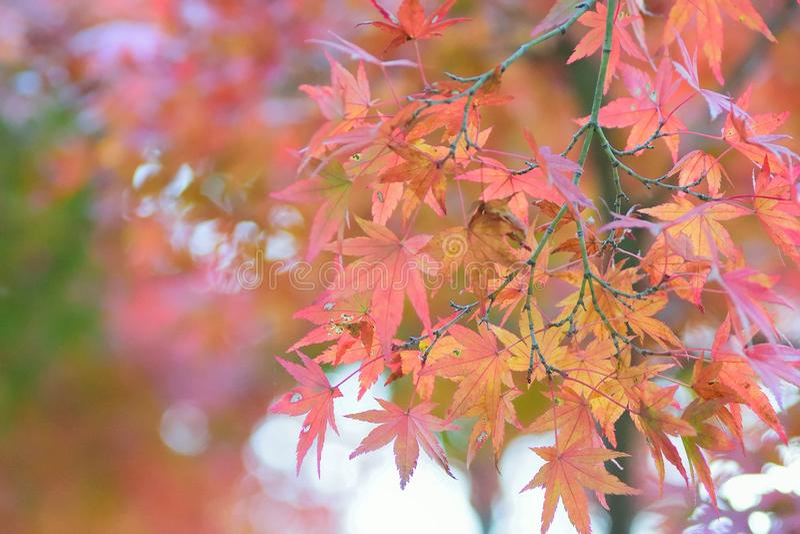 Landschap van trillende gekleurde Japanse Esdoornbladeren met vage achtergrond stock foto's