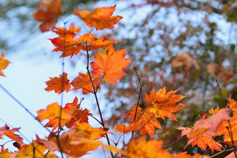Landschap van trillende gekleurde Japanse Esdoornbladeren met vage achtergrond royalty-vrije stock fotografie