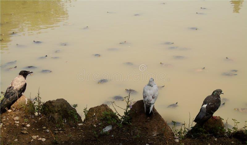 Landschap van twee grijze en witte duiven en een kraai, op meerachtergrond met vele landschildpadden het zwemmen stock foto's