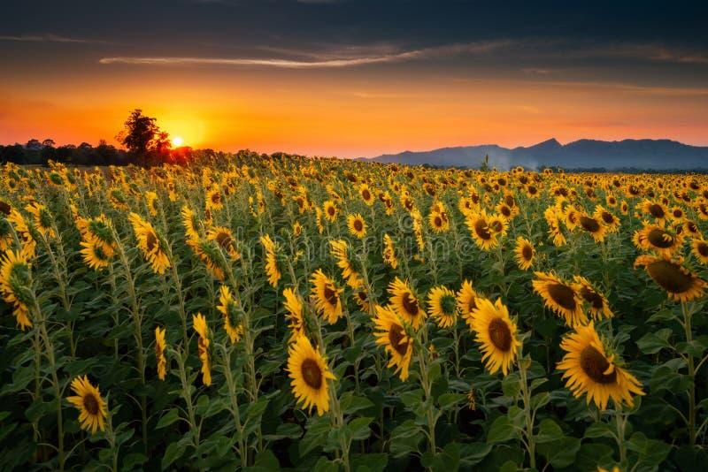 Landschap van Zonnebloemen die in The Field bloeien , Mooie Scène van Landbouw die op Bergketenachtergrond bij Zonsondergang bewe royalty-vrije stock fotografie