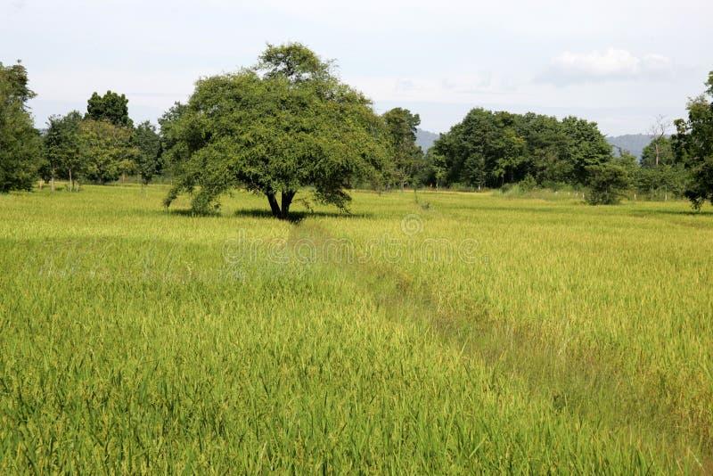 Landschap wirh ricefields Thailand stock afbeeldingen