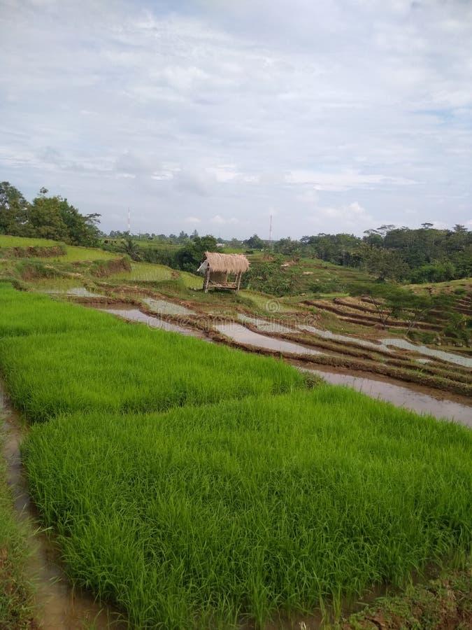 Landschappen mooie padievelden stock foto's