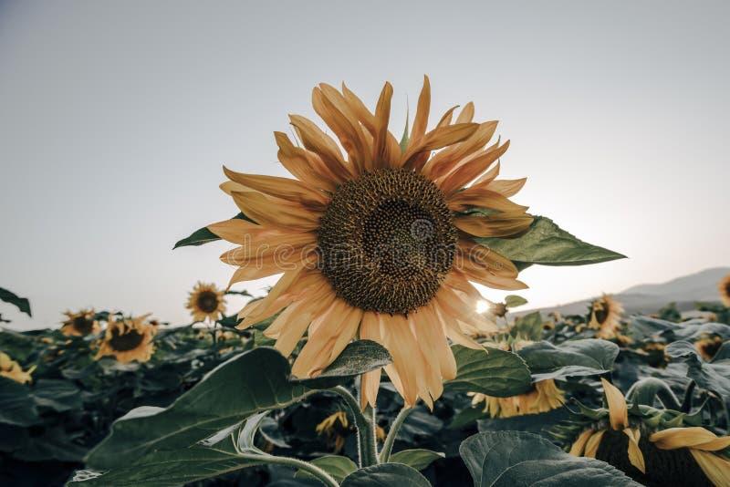 Landschappen van zonnebloemgebieden die in de lente en de zomertijd bloeien stock afbeeldingen