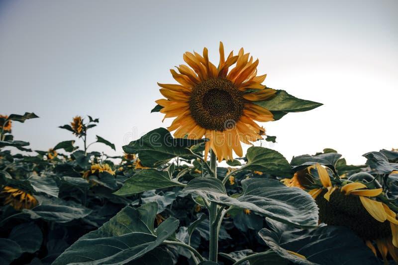 Landschappen van zonnebloemgebieden die in de lente en de zomertijd bloeien stock foto's