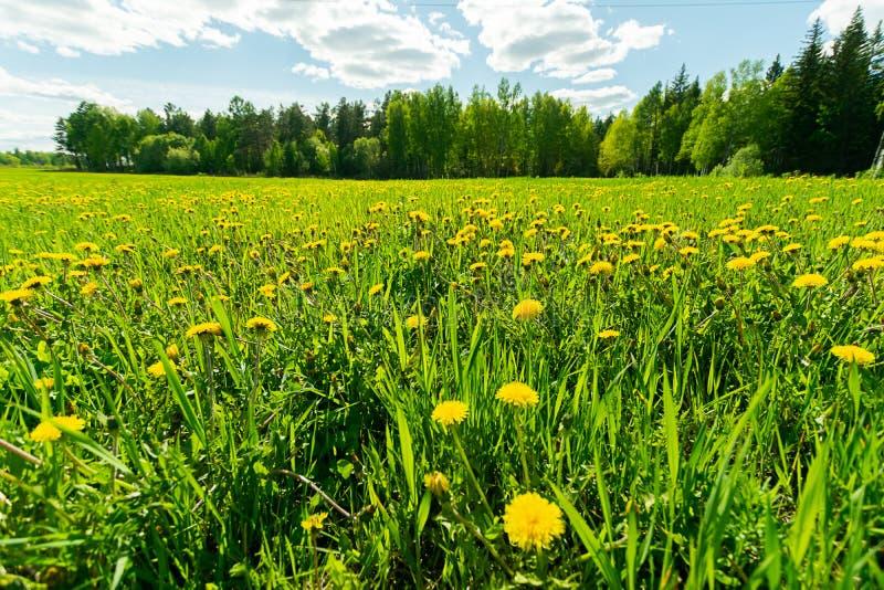 Landschaps groene weide met paardebloemen het hoge gras tegen de blauwe hemel met wolken Een gebied met bloeiende bloemen royalty-vrije stock foto