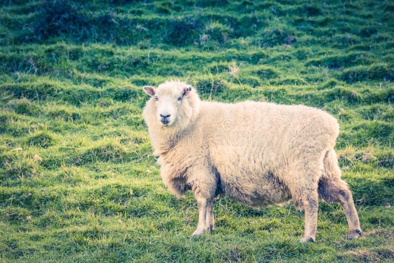 Landschapsbeeld van een schaap op een landbouwbedrijf stock afbeeldingen