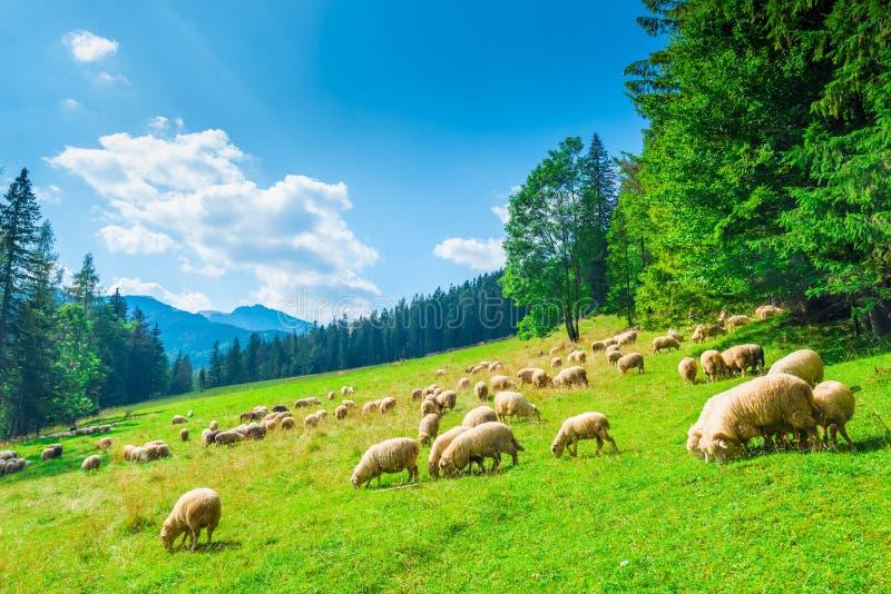 Landschapshelling van een berg en een troep van schapen op een weide  stock foto's