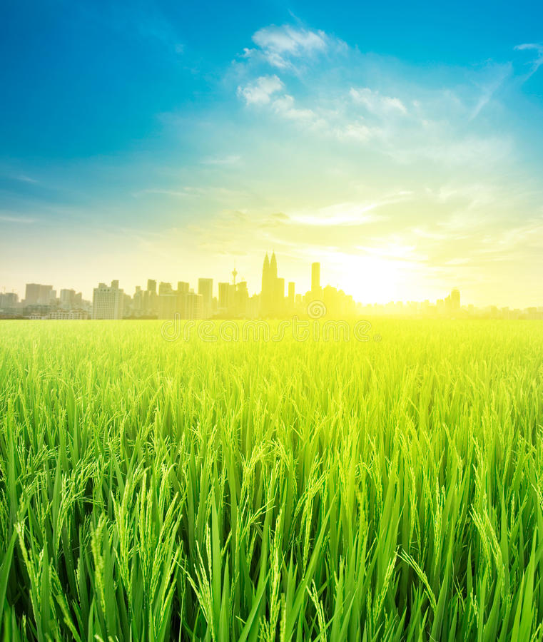 Landschapsmening over padieveldaanplanting de landbouw stock fotografie