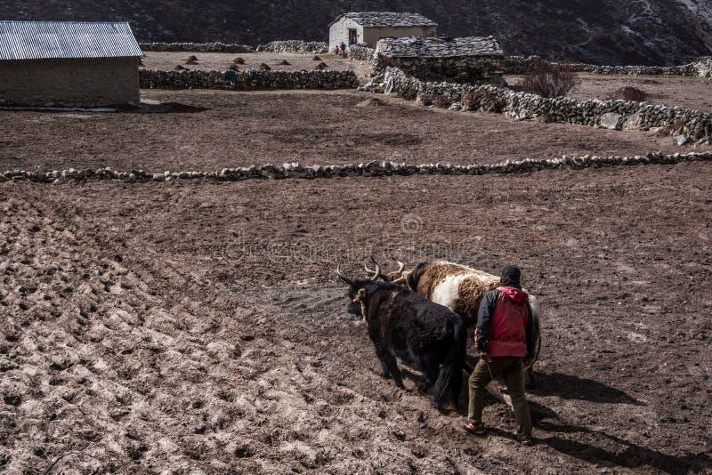 Landschapsmening van één landbouwer die een bevroren gebied met twee yaks ploegen, Nepal royalty-vrije stock afbeelding