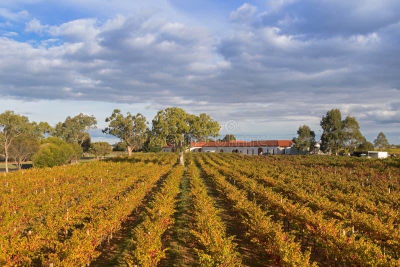 Landschapsmening van wijngaard het groeien op kalksteenkust in Coonawa royalty-vrije stock afbeeldingen