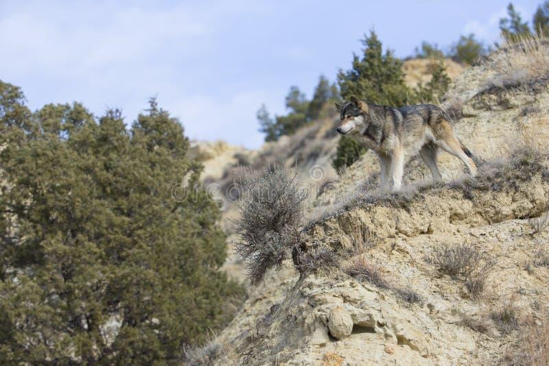 Landschapsmening van wolf op bergrichel royalty-vrije stock afbeeldingen