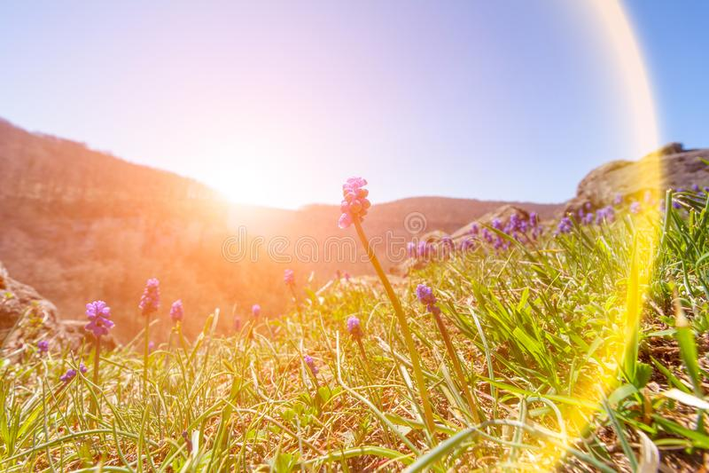 Landschapsopen plek met Muscari-bloemen in helder zonlicht royalty-vrije stock foto's