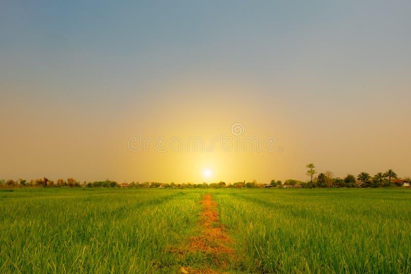 landschapspadieveld tijdens ochtendtijd met zonsopgang royalty-vrije stock fotografie