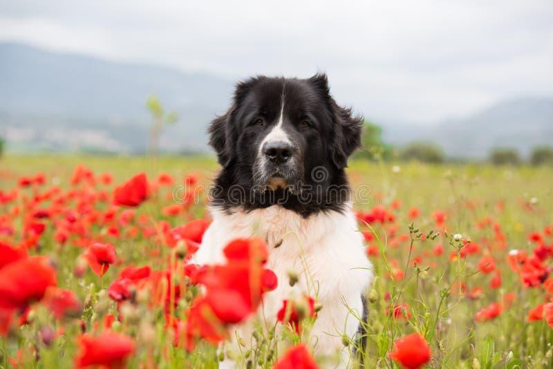 Landseer dog pure breed in poppy field flower royalty free stock image