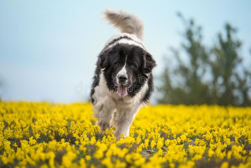 Landseer dog pure breed playing fun lovely puppy royalty free stock images