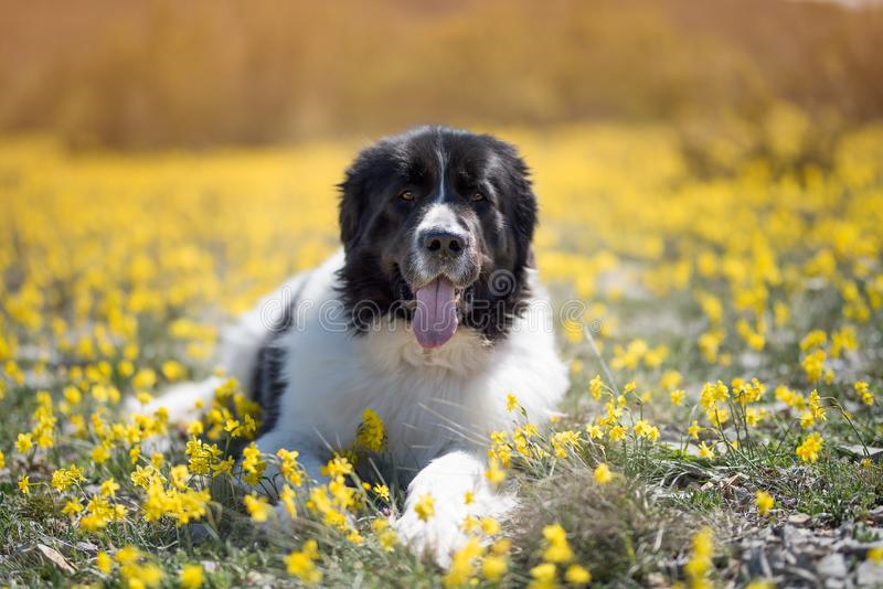 Landseer dog pure breed playing fun lovely puppy stock photography