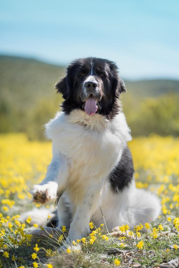 Landseer dog pure breed playing fun lovely puppy stock image
