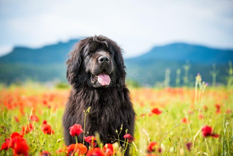 Landseer dog pure breed in poppy field flower royalty free stock photo