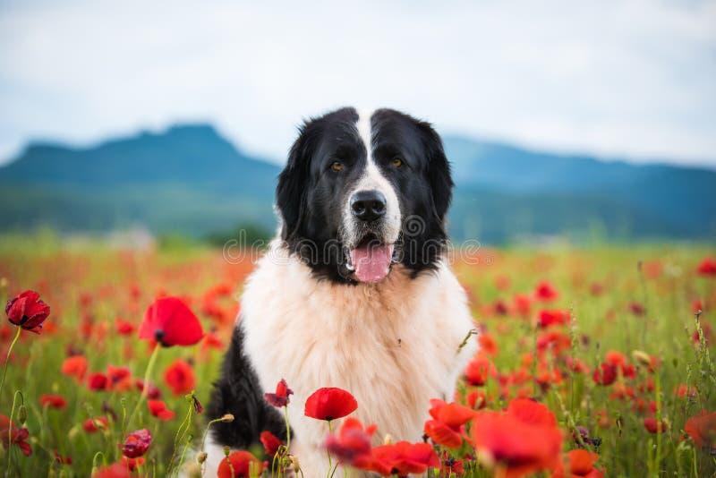 Landseer dog pure breed in poppy field flower royalty free stock photos
