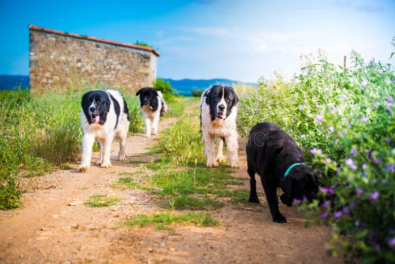 Landseer dog pure breed in road stock image