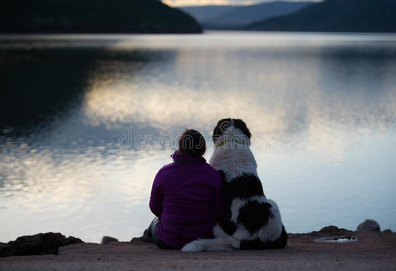 Landseer dog pure breed female puppy stock photography