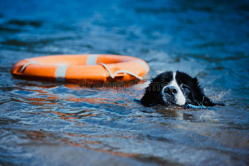 Landseer dog pure breed in water training royalty free stock images