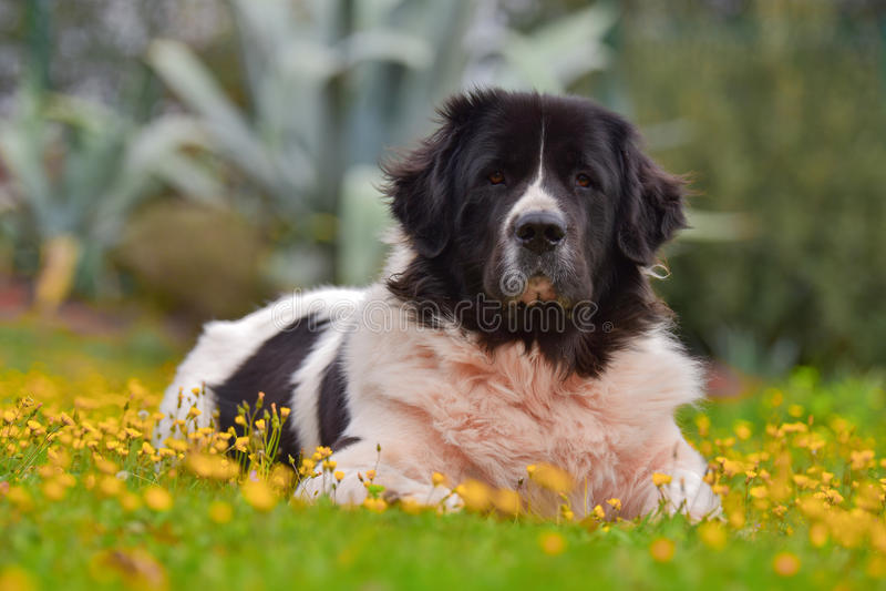 Landseer dog stock photos