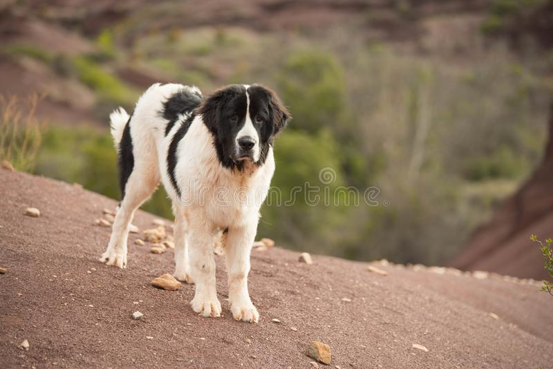 Landseer dog water work rescue dog royalty free stock photography