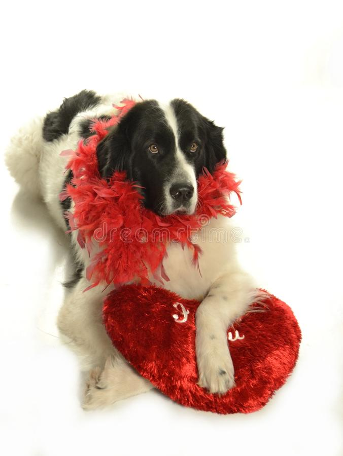 Landseer för romantiker för valentin för st för förälskelse för hund för Terre neuvenewfounland royaltyfria foton