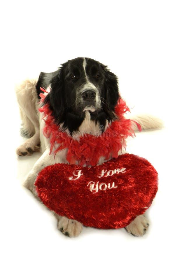 Landseer för romantiker för valentin för st för förälskelse för hund för Terre neuvenewfounland royaltyfria bilder